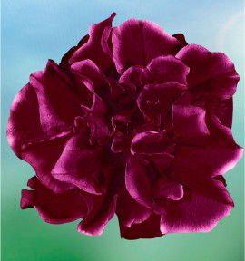 PETUNIA DOUBLE SWEET SUNSHINE® BURGUNDY