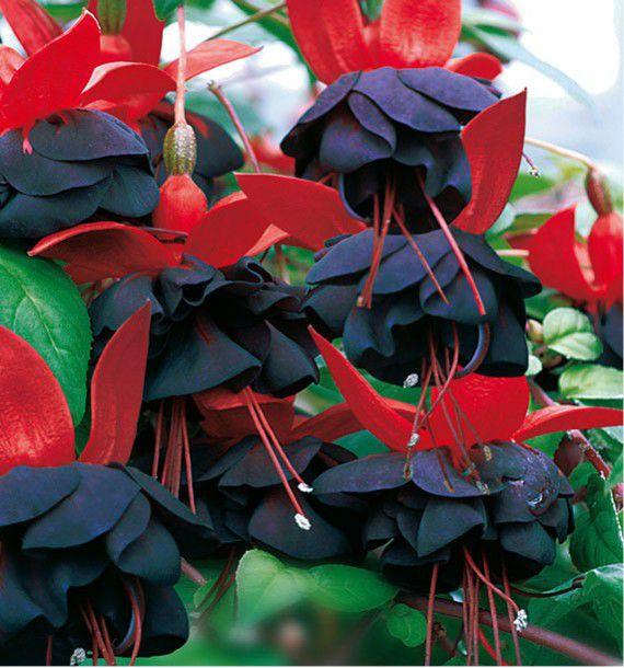 Fuchsia millenium plante en ligne for Fushia plante interieur ou exterieur