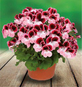 PELARGONIUM ARISTO® DARLING