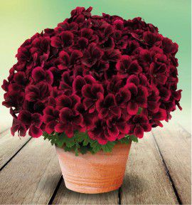 PELARGONIUM MERLOT RED