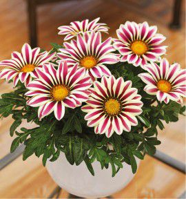 GAZANIA BIG KISS™ WHITE FLAME