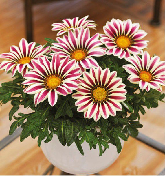 GAZANIA BIG KISS® WHITE FLAME