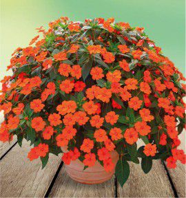 SUNPATIENS® ELECTRIC ORANGE