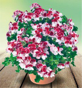 PELARGONIUM ANGELEYES®