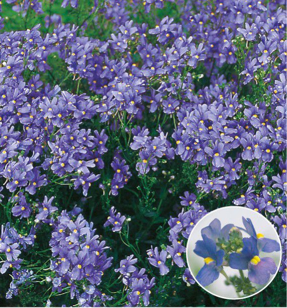 NEMESIA TRUE BLUE