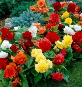 COLIBRIANT 12 BEGONIAS DOUBLES : 3 JAUNES + 3 ROUGES + 3 BLANCS + 3 ORANGES