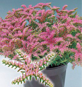 SEDUM SEA STAR