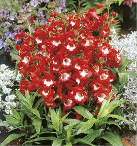 PENSTEMON LE PHARE