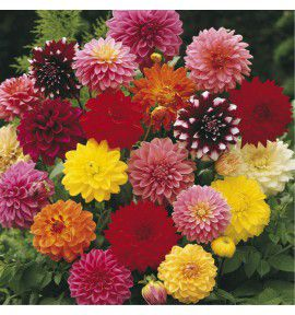 8 DAHLIAS DECORATIFS EN MELANGE