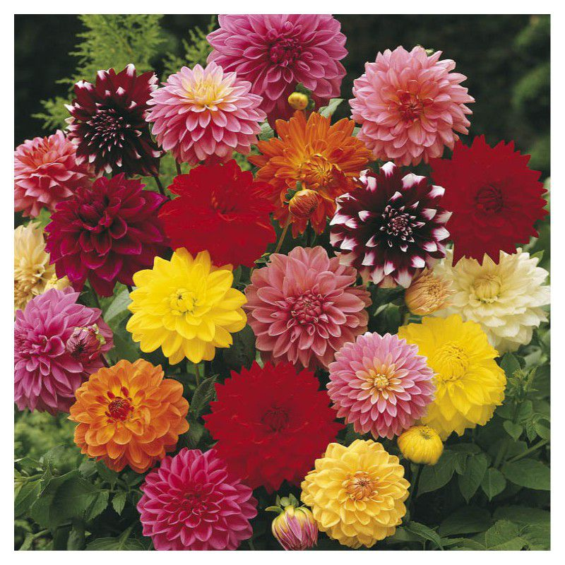 8 dahlias decoratifs en melange plante en ligne for Composer bouquet en ligne
