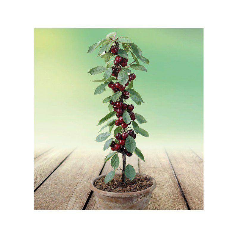 Cerisier nain sylvia plante en ligne for Plantes en ligne belgique
