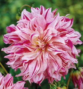 DAHLIA DECORATIF BRISTOL STRIPES