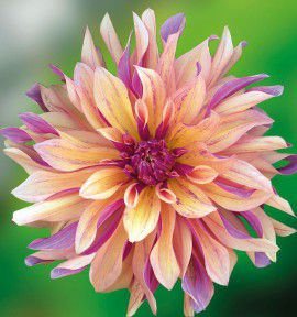 DAHLIA DECORATIF FRENCH CANCAN® Deldatere
