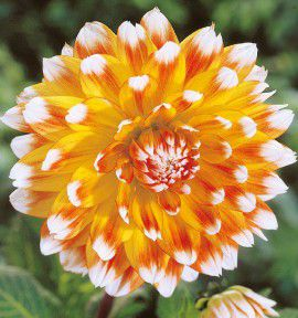 DAHLIA DECORATIF PEACHES AND CREAM
