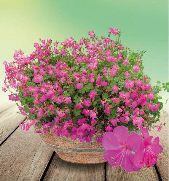 Geranium crystal rose plante en ligne for Geranium d interieur