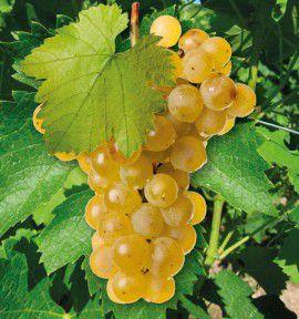 Vigne vierge prix - Entretien de la vigne ...