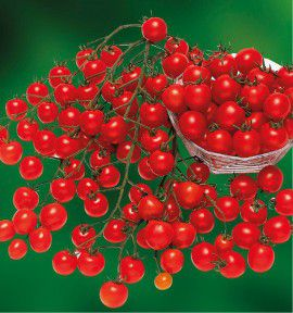 TOMATE GRAPPE CERISE SWEET 100 A PLANTER