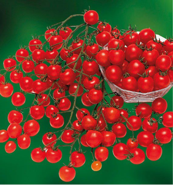 TOMATE GRAPPE CERISE SWEET 100