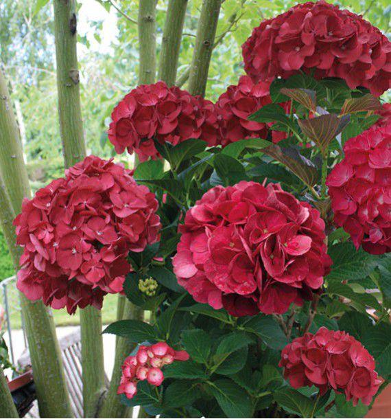 Que planter avec des hortensias massif le jardin des - Quand planter des hortensias ...