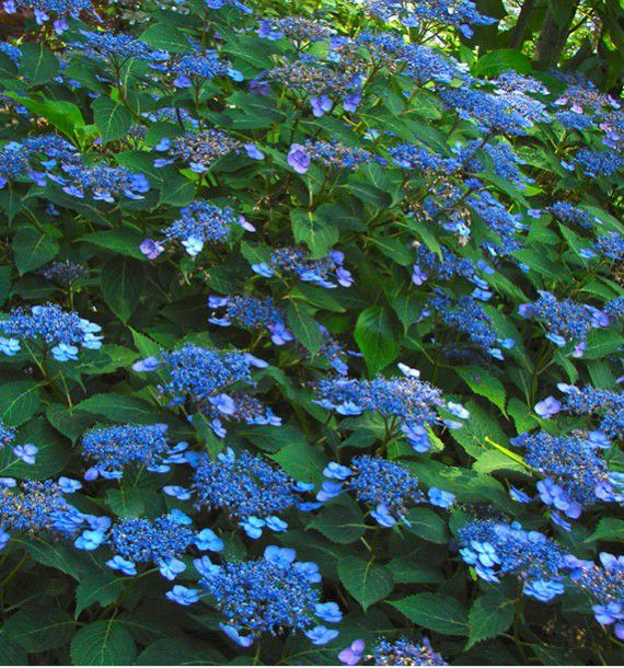 HORTENSIA MAGIC SEDUCTION ANNIE'S BLUE