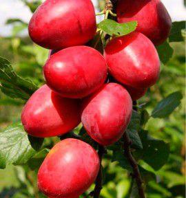 Prunier mirabelle de nancy plante en ligne - Taille des pruniers mirabelles ...