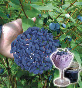 COLIBRIANT 2 HASKAPS A GROS FRUITS : 1 PRIRIKA® n°88102 + 1 HOKA® n°2189