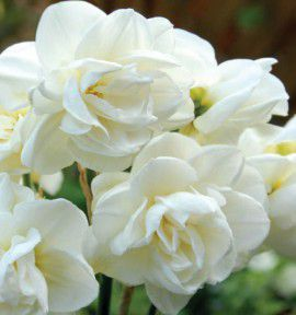 NARCISSE DOUBLE ROSE OF MAY