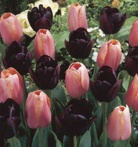 COLLECTION 20 TULIPES SIMPLES TARDIVES : 10 MENTON ROSE + 10 QUEEN OF NIGHT NOIRE