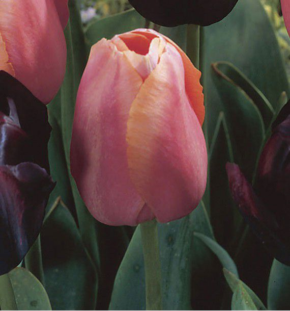 TULIPE SIMPLE TARDIVE MENTON ROSE