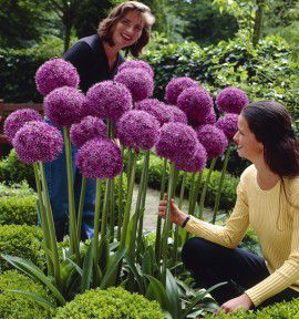ALLIUM GEANT GLADIATOR
