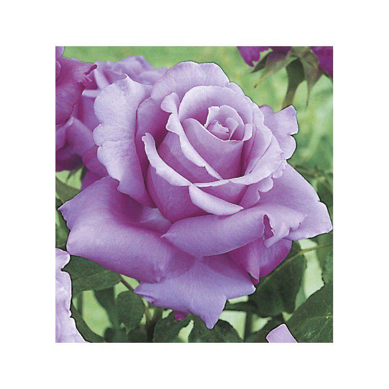rosier buisson violet perfume plante en ligne. Black Bedroom Furniture Sets. Home Design Ideas