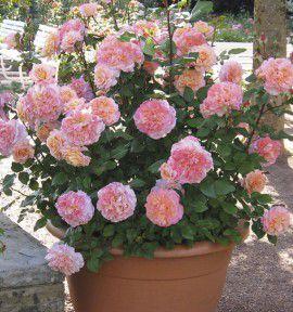 rosier buisson augusta luise tangust jacques briant plante en ligne. Black Bedroom Furniture Sets. Home Design Ideas