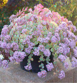 sedum sieboldii variegata