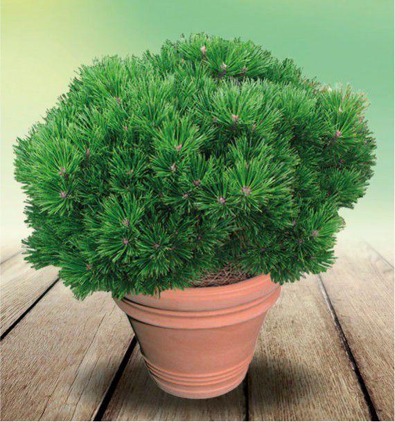pin nain pierrick bregeon brepo plante en ligne. Black Bedroom Furniture Sets. Home Design Ideas