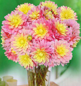 DAHLIA DECORATIF BEL AMOUR