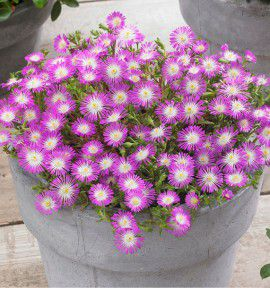 DELOSPERMA WHEELS OF WONDER VIOLET