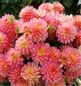 DAHLIA NAIN DOUBLE PERFECT