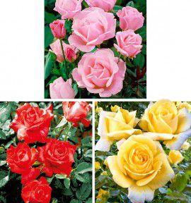 COLIBRIANT 3 ROSIERS QUEEN : 1 QUEEN ELIZABETH ROSE + 1 QUEEN ELIZABETH ROUGE  + 1 QUEEN ELIZABETH JAUNE