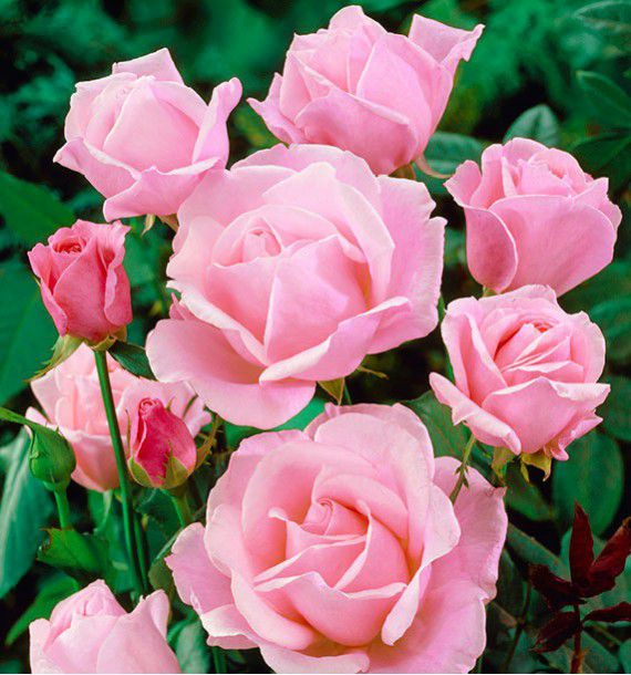 ROSIER QUEEN ELIZABETH ROSE