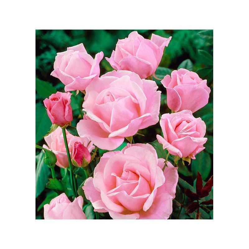 Rosier queen elizabeth rose plante en ligne - Rouille rosier traitement naturel ...