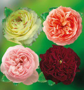 COLIBRIANT 4 ROSIERS ANGLAIS : 1 SHERWOOD + 1 ABRAHAM DARBY + 1 HERITAGE + 1 WILLIAM SHAKESPEARE