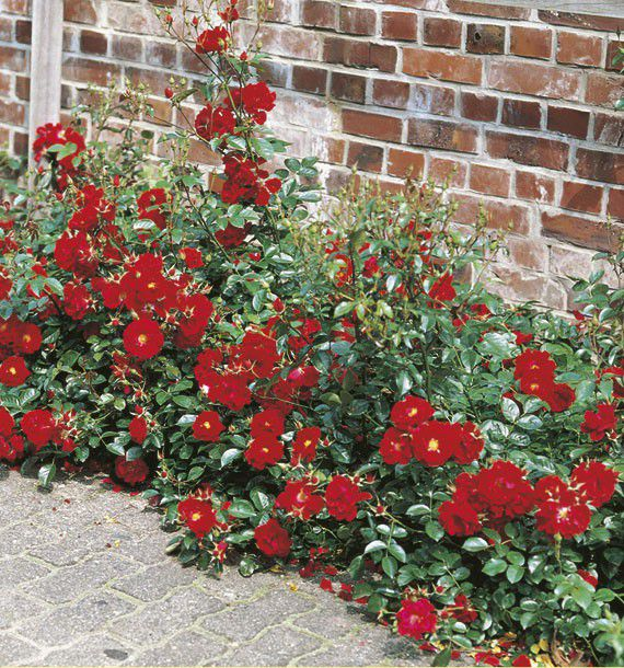 rosier couvre sol mainaufauer kortemma plante en ligne. Black Bedroom Furniture Sets. Home Design Ideas