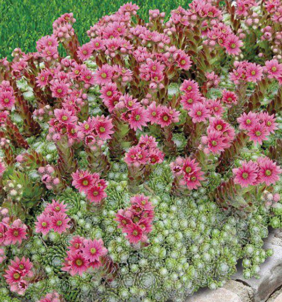 Joubarbe a toile d 39 araignee plante en ligne for Artichaut plante grasse