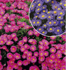 LES ASTERS NAINS D'AUTOMNE