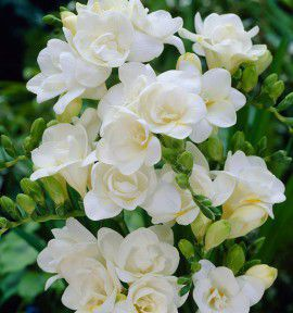 FREESIA DOUBLE BLANC TERESA