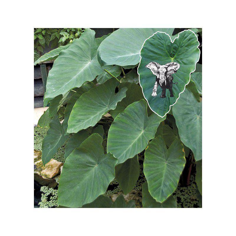 Oreilles d 39 elephant plante en ligne - Plante verte appelee pied d elephant ...