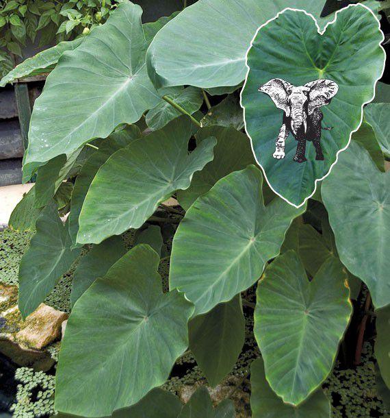plante interieur oreille elephant