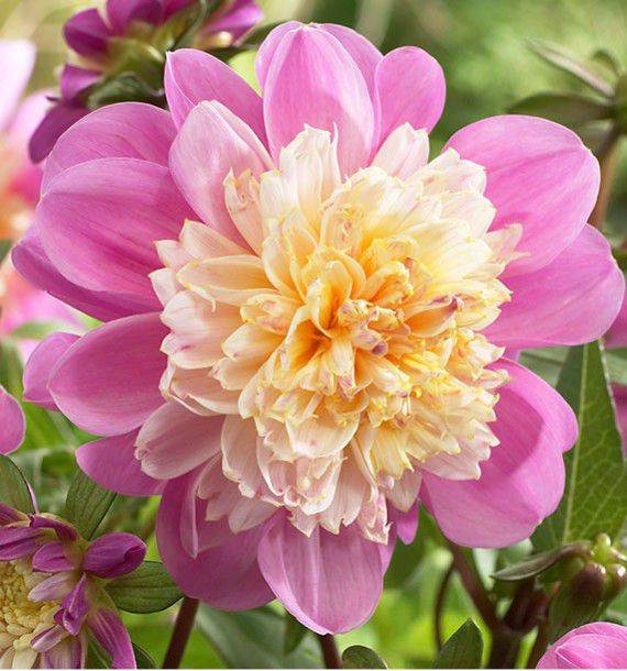 DAHLIA ALVEOLE TAKE OFF