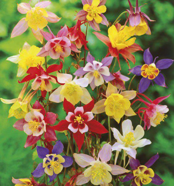 Ancolies mckana plante en ligne for Plante en ligne