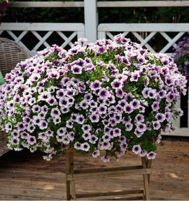 PETUNIA SWEETUNIA® PURPLE SPOTLIGHT